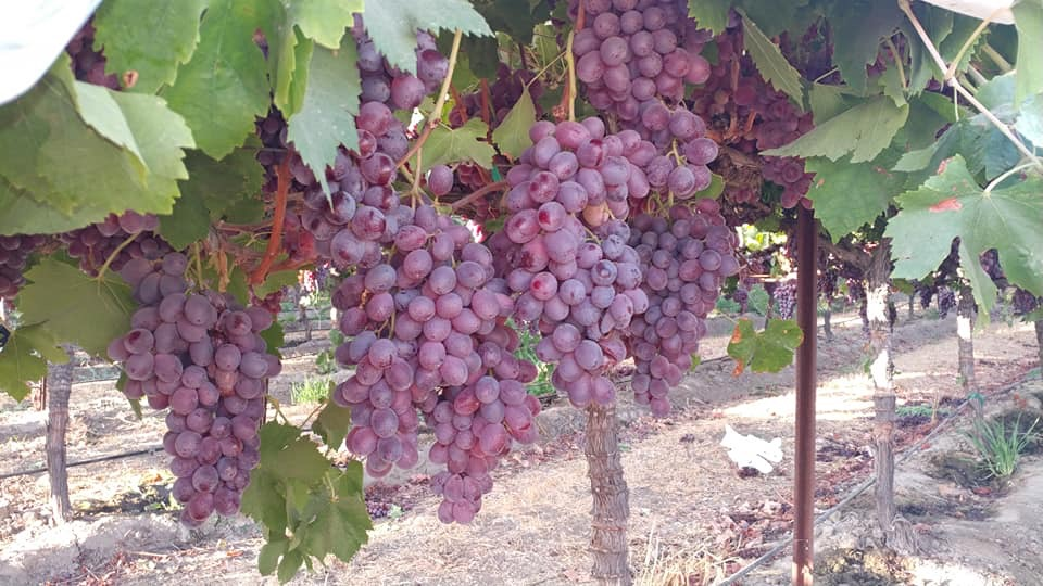 red table grapes on vines